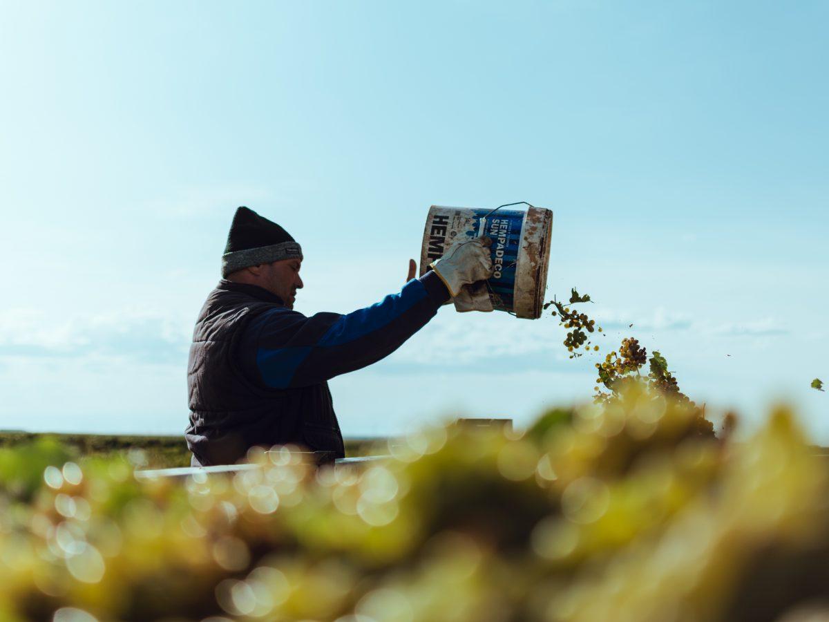 Uva Verdejo cultivo ecológico